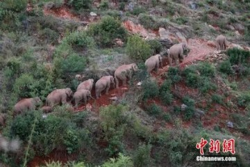 大象群夜里进入昆明要逛省城